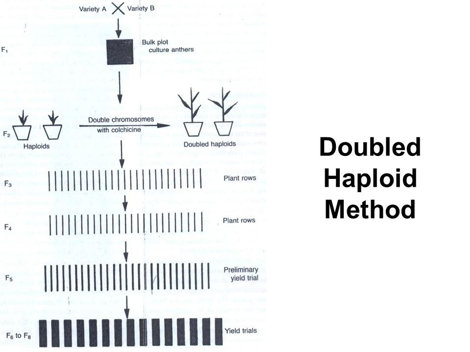 Doubled Haploid Method