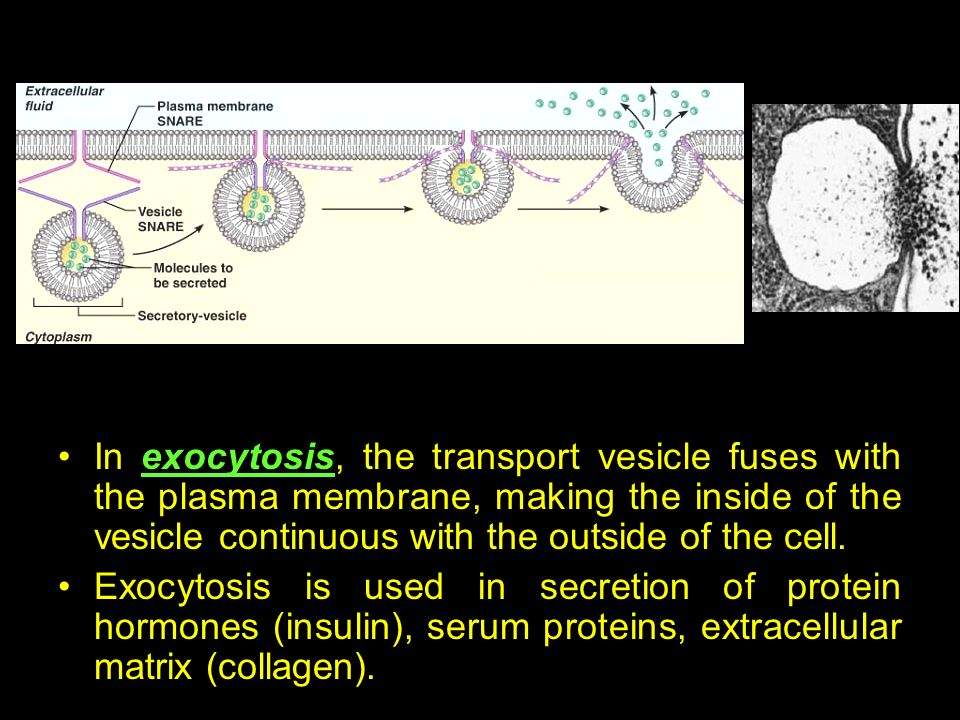 In exocytosis, the transport vesicle fuses with the plasma membrane, making the inside of the vesicle continuous with the outside of the cell.