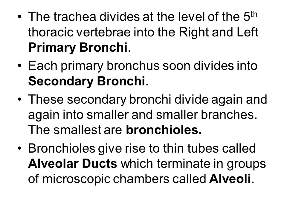 The trachea divides at the level of the 5th thoracic vertebrae into the Right and Left Primary Bronchi.