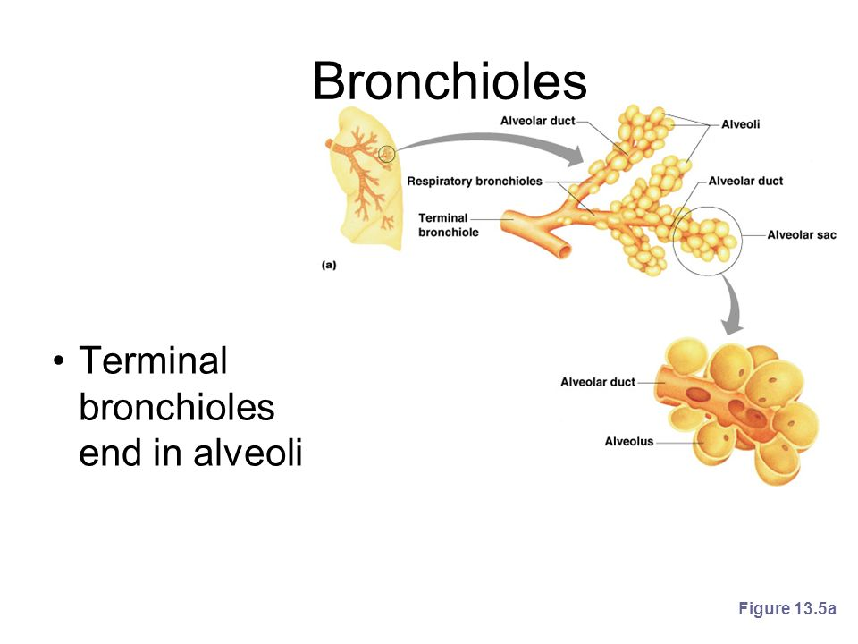 Bronchioles Terminal bronchioles end in alveoli Figure 13.5a
