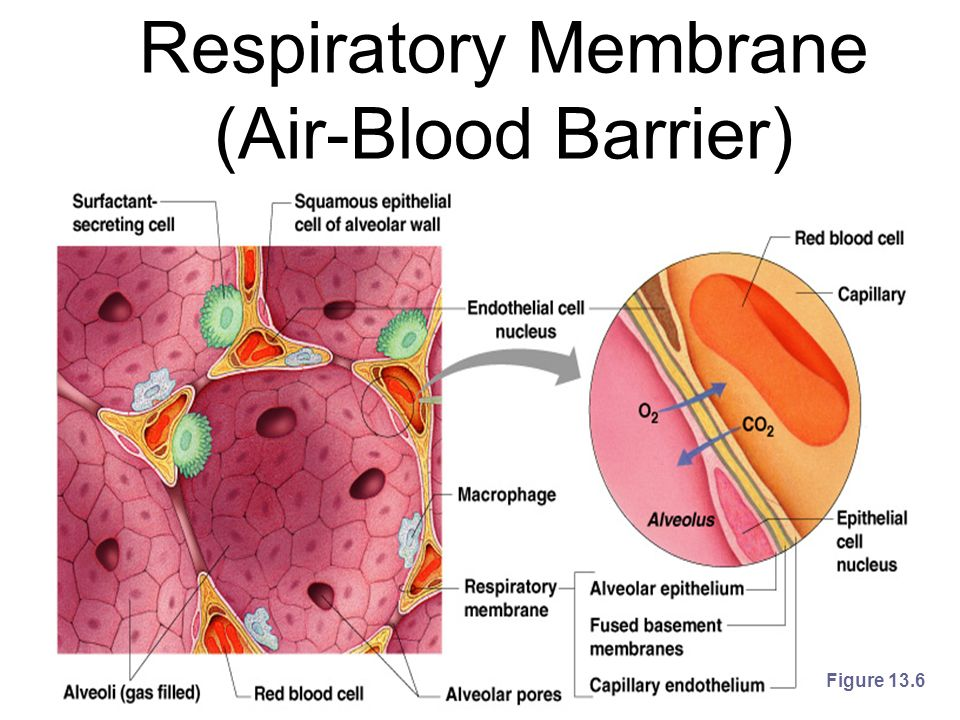 Respiratory Membrane (Air-Blood Barrier)