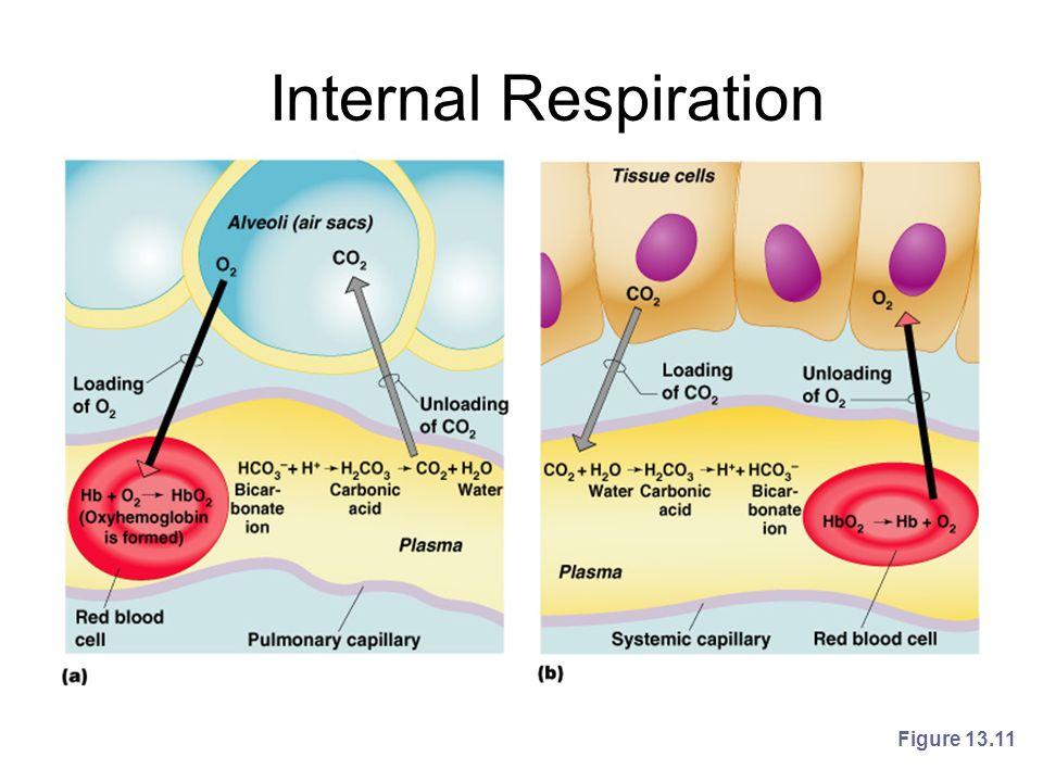 Internal Respiration Figure 13.11