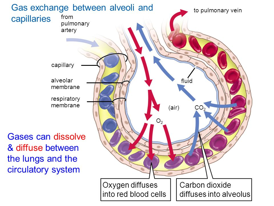Gas exchange between alveoli and capillaries