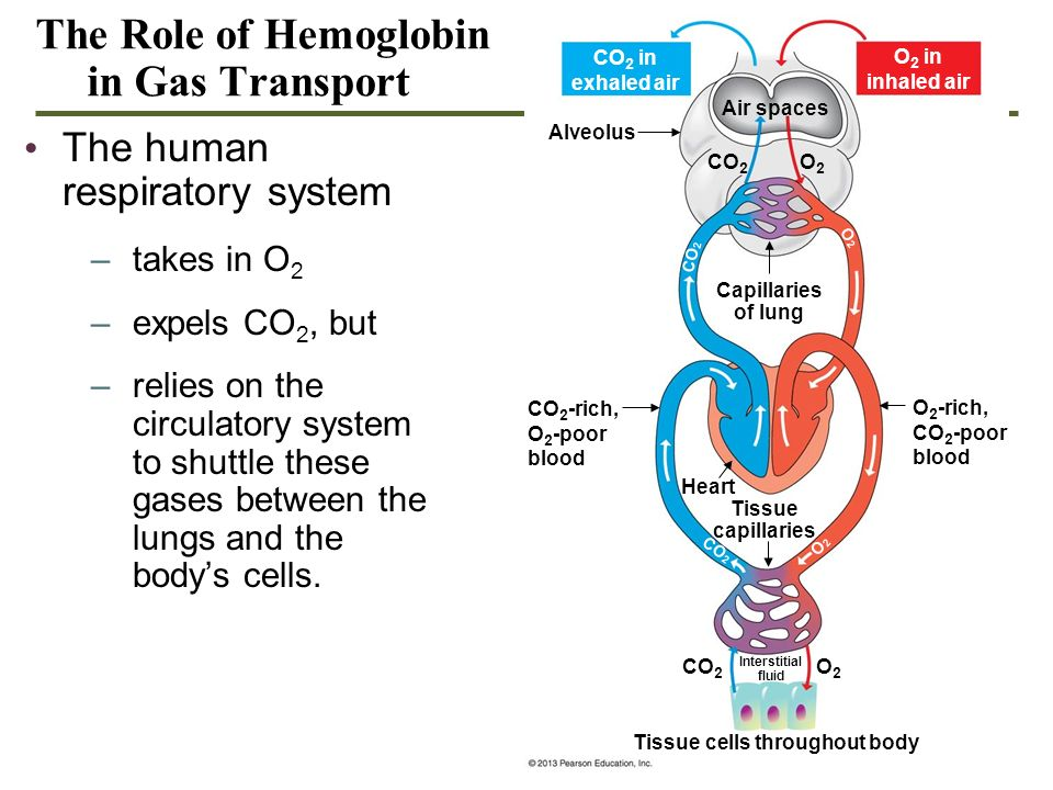 The Role of Hemoglobin in Gas Transport