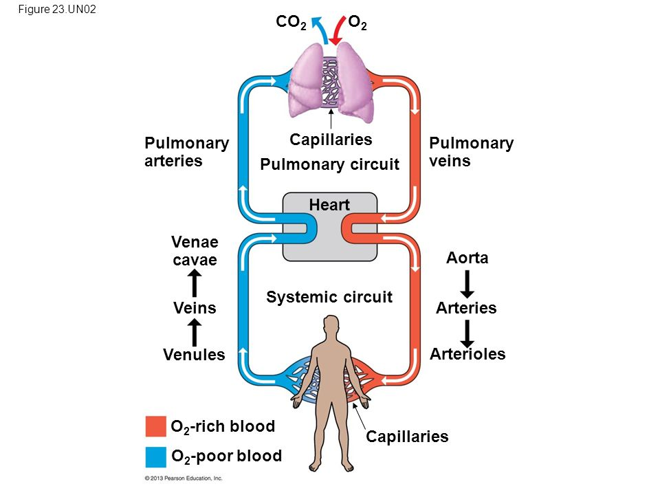Pulmonary circuit Heart Venae cavae Systemic circuit