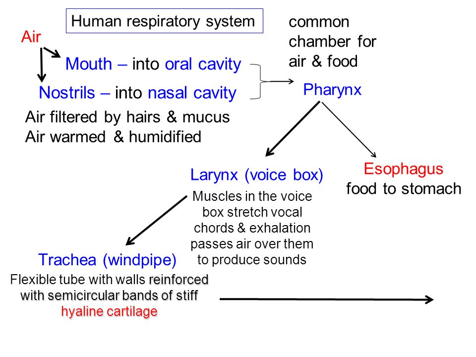 Mouth – into oral cavity