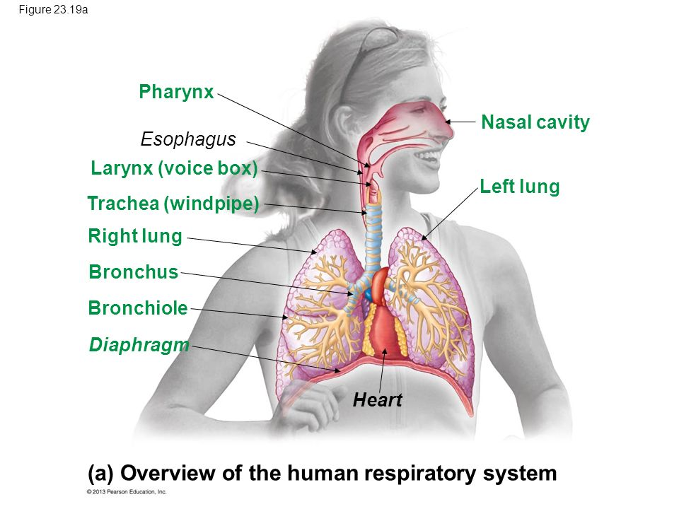 (a) Overview of the human respiratory system