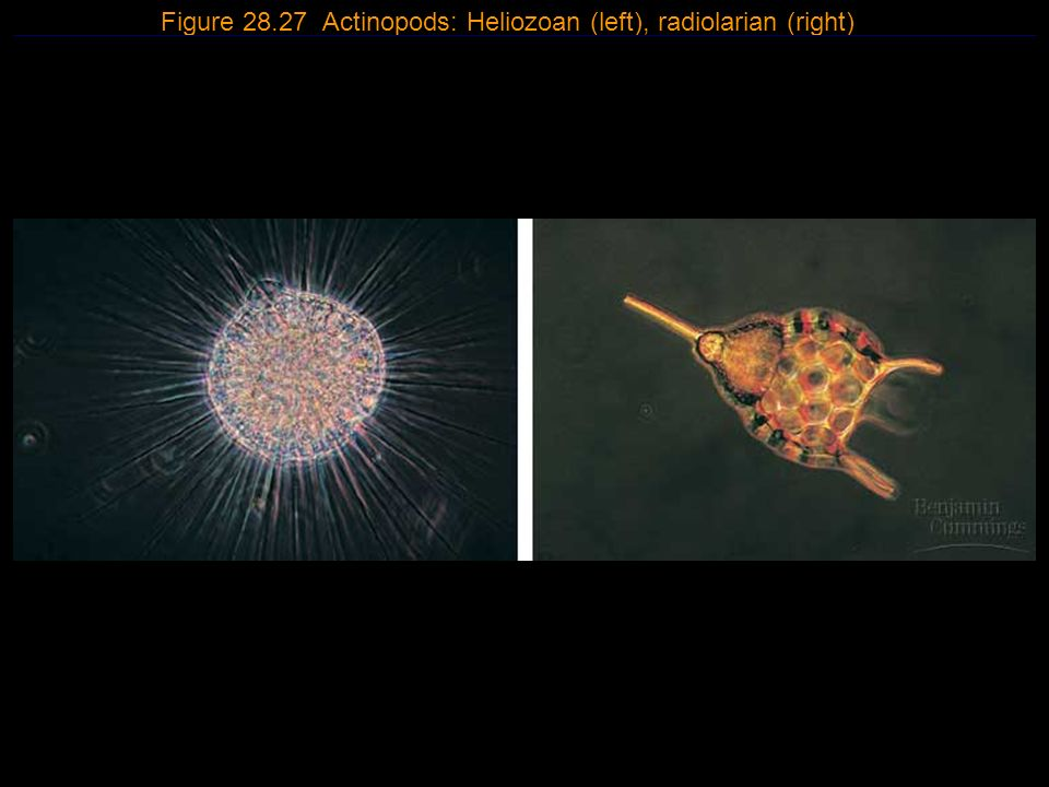 Figure 28.27 Actinopods: Heliozoan (left), radiolarian (right)