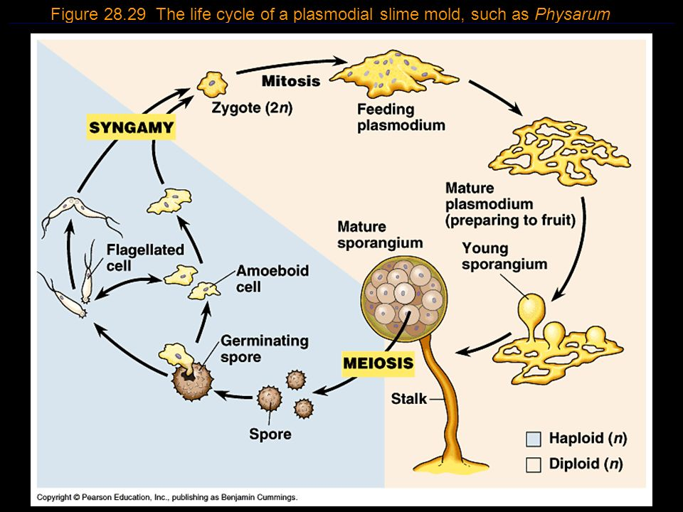 Figure 28.29 The life cycle of a plasmodial slime mold, such as Physarum