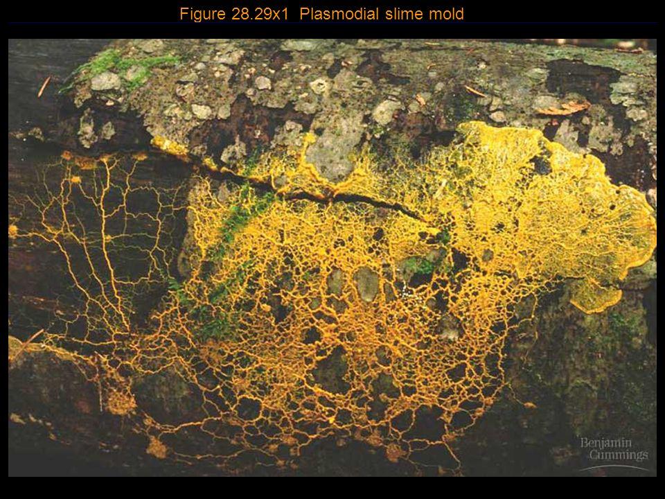 Figure 28.29x1 Plasmodial slime mold