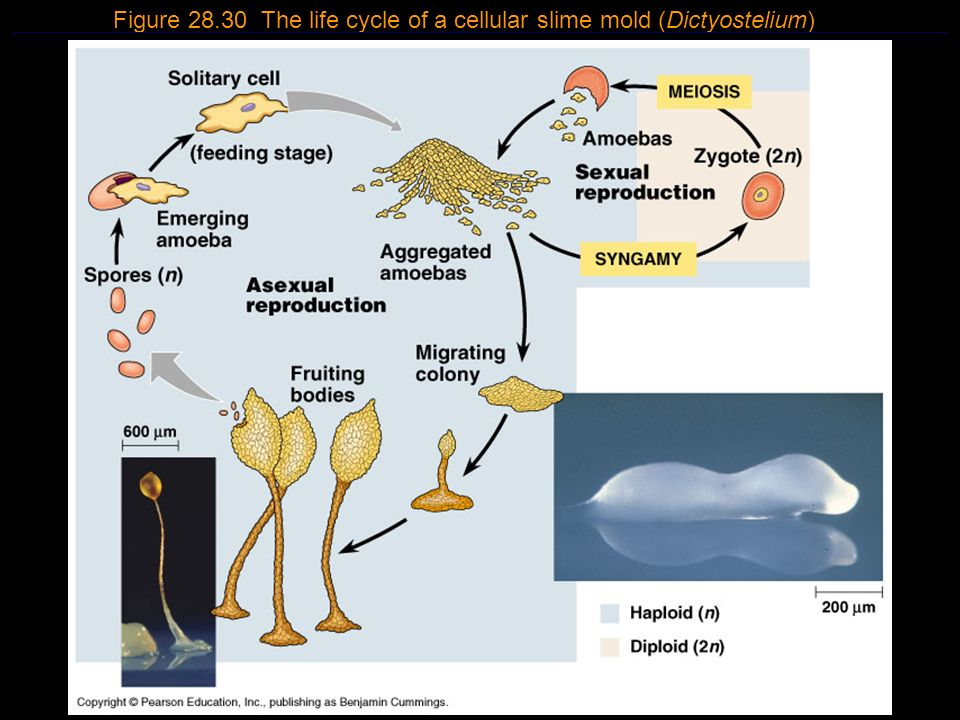 Figure 28.30 The life cycle of a cellular slime mold (Dictyostelium)