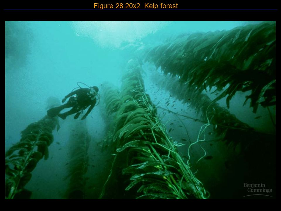 Figure 28.20x2 Kelp forest