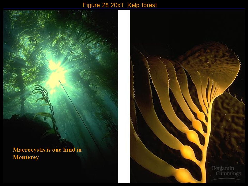 Figure 28.20x1 Kelp forest Macrocystis is one kind in Monterey