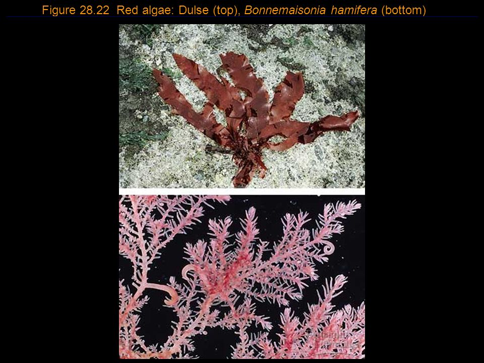Figure 28.22 Red algae: Dulse (top), Bonnemaisonia hamifera (bottom)