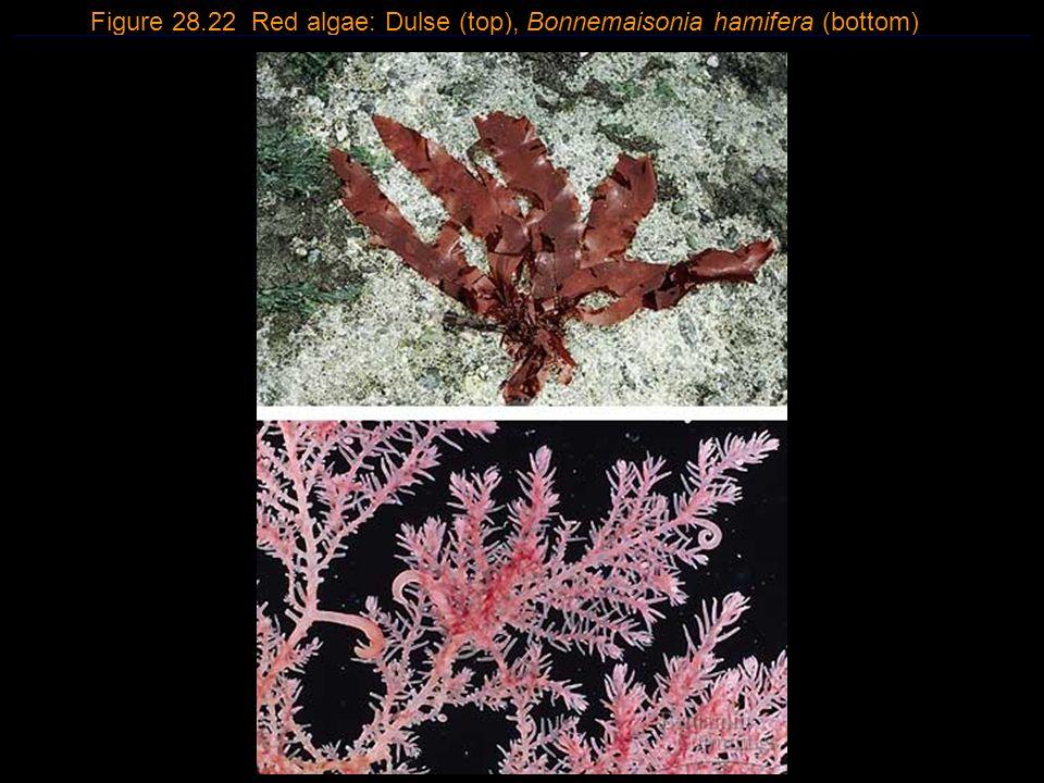 Figure 28.22 Red algae: Dulse (top), Bonnemaisonia hamifera (bottom)