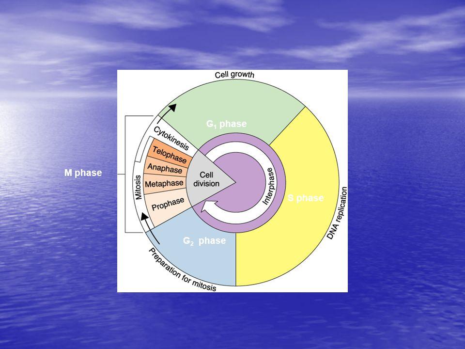 M phase G2 phase S phase G1 phase
