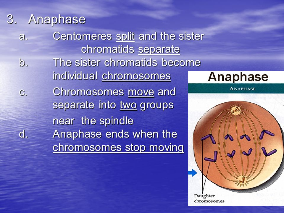 3. Anaphase a. Centomeres split and the sister chromatids separate b. The sister chromatids become individual chromosomes.