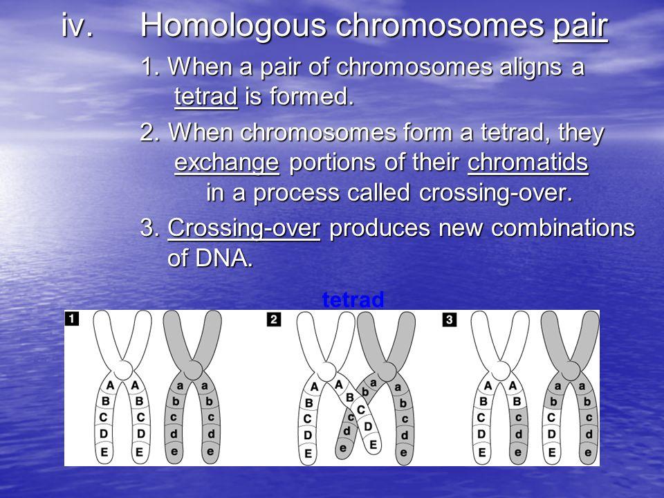 iv. Homologous chromosomes pair