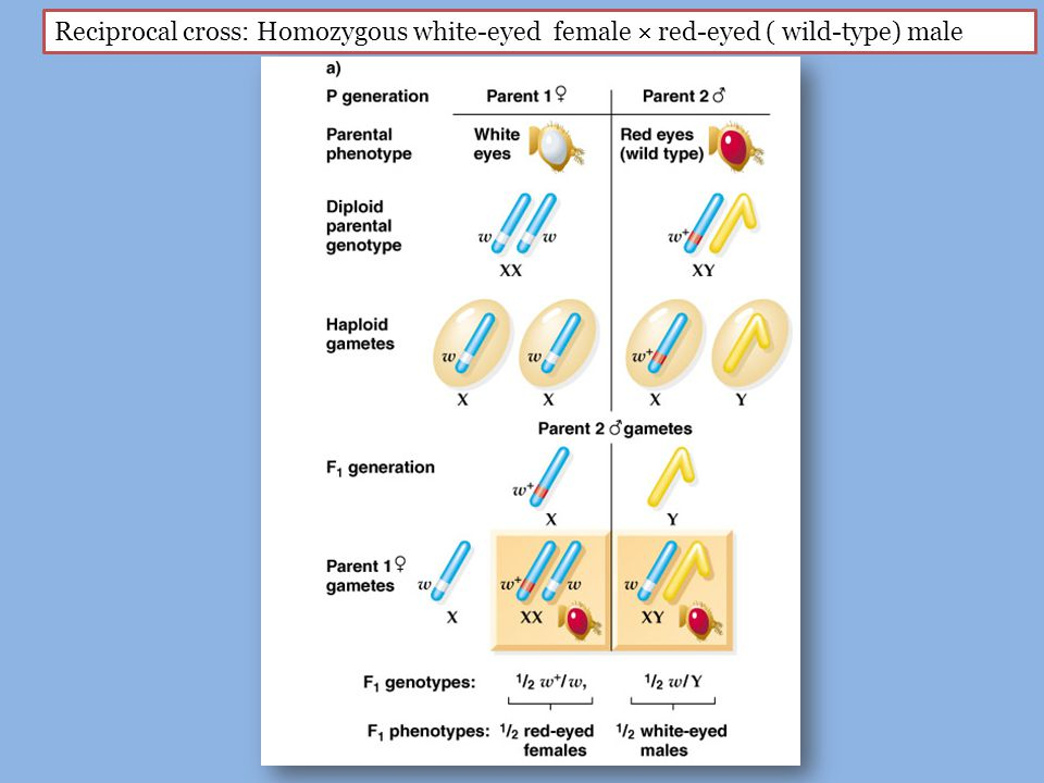 Reciprocal cross: Homozygous white-eyed female  red-eyed ( wild-type) male
