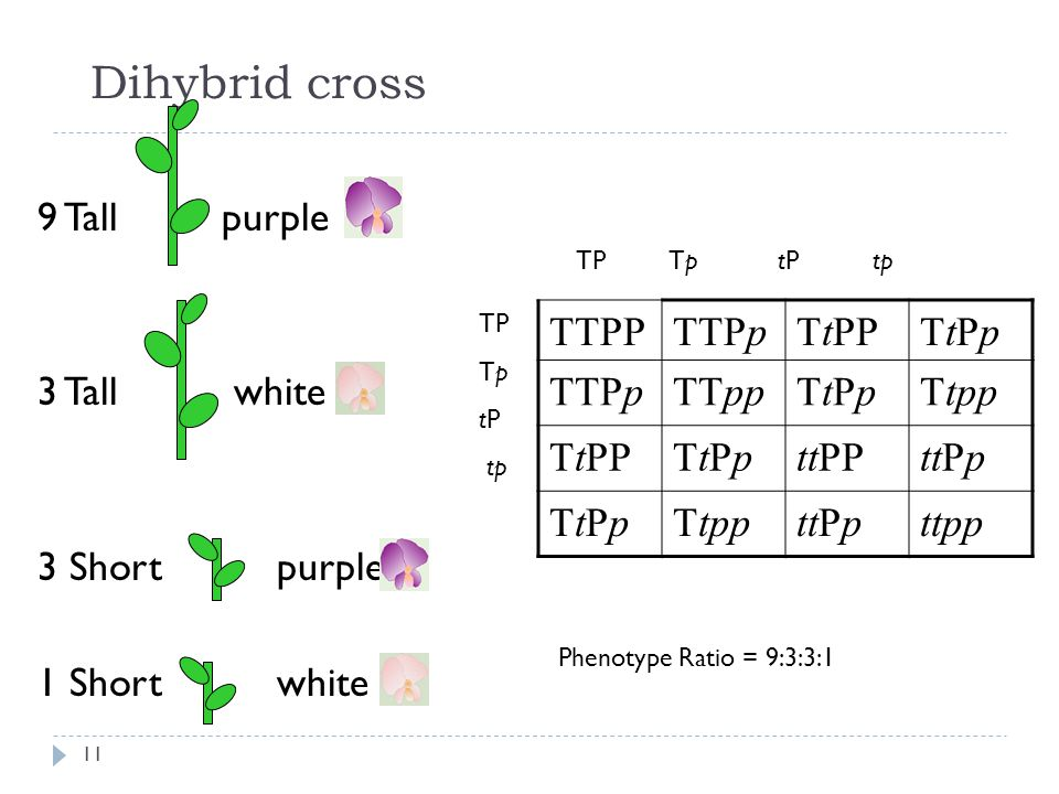 Dihybrid cross 9 Tall purple 3 Tall white 3 Short purple 1 Short white