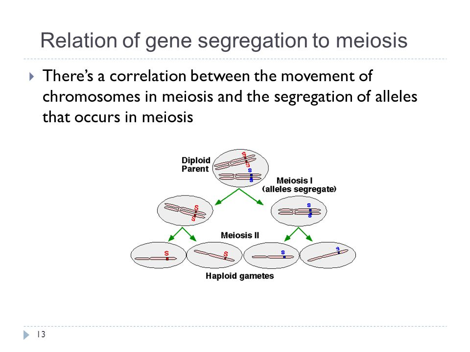 Relation of gene segregation to meiosis