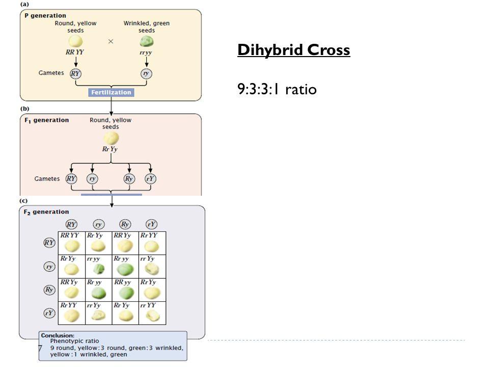 Dihybrid Cross 9:3:3:1 ratio