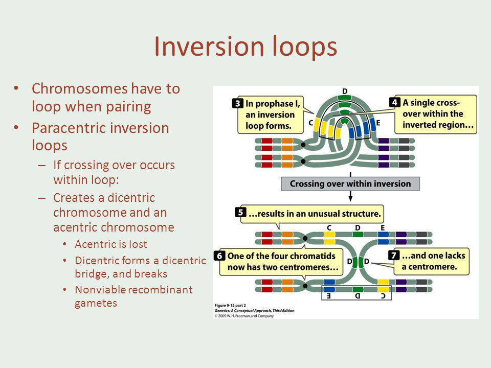 Inversion loops Chromosomes have to loop when pairing