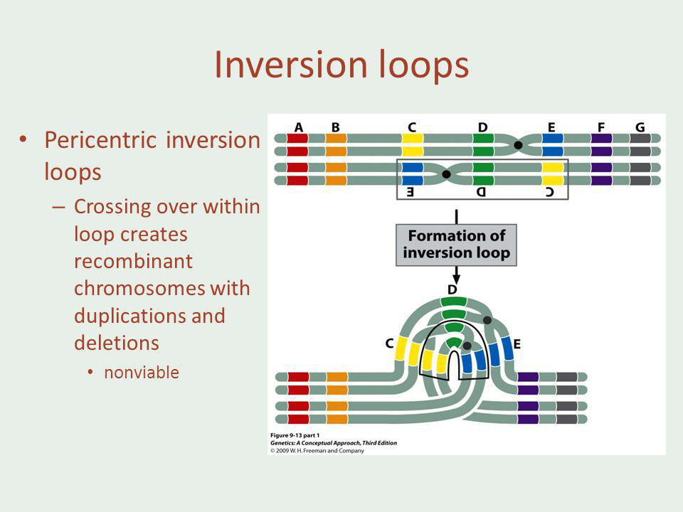 Inversion loops Pericentric inversion loops