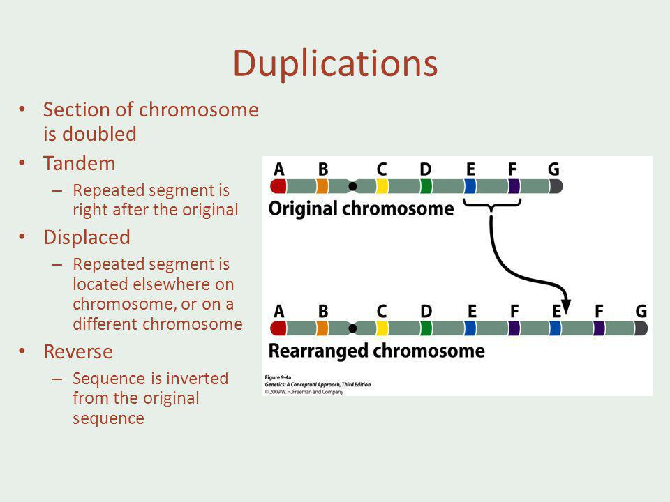 Duplications Section of chromosome is doubled Tandem Displaced Reverse