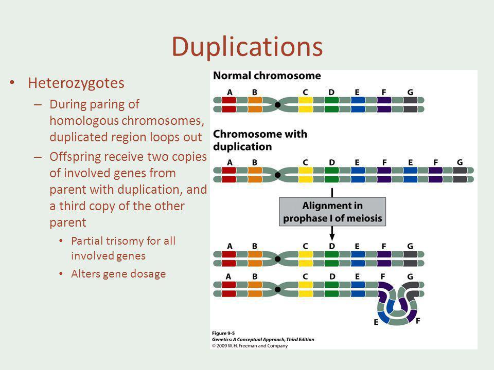 Duplications Heterozygotes