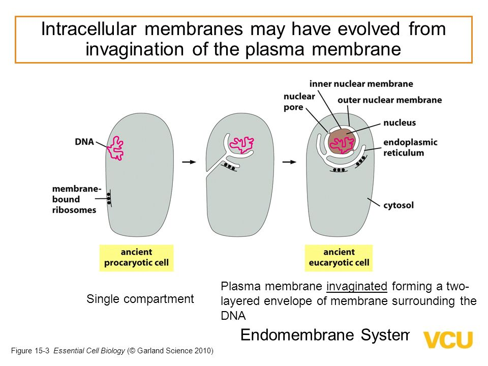 Evolution of the ER and Nuclear Membranes