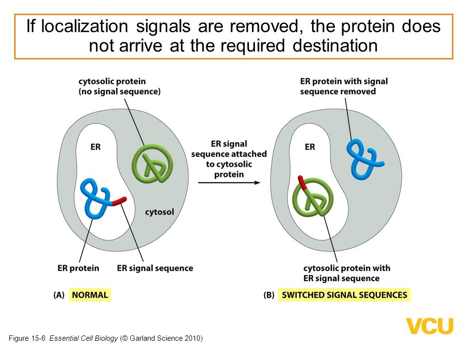 If localization signals are removed, the protein does not arrive at the required destination
