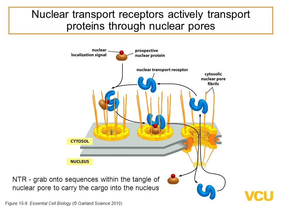 Nuclear transport receptors actively transport proteins through nuclear pores