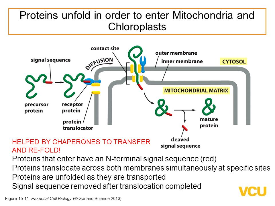 Proteins unfold in order to enter Mitochondria and Chloroplasts