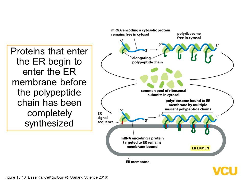 Proteins that enter the ER begin to enter the ER membrane before the polypeptide chain has been completely synthesized