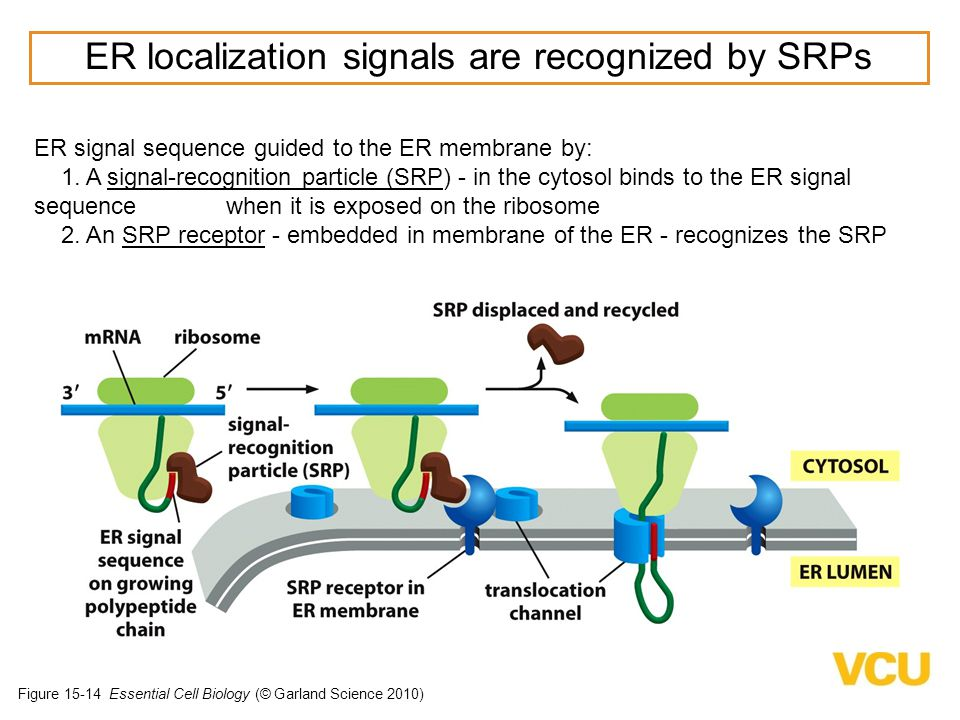 ER localization signals are recognized by SRPs