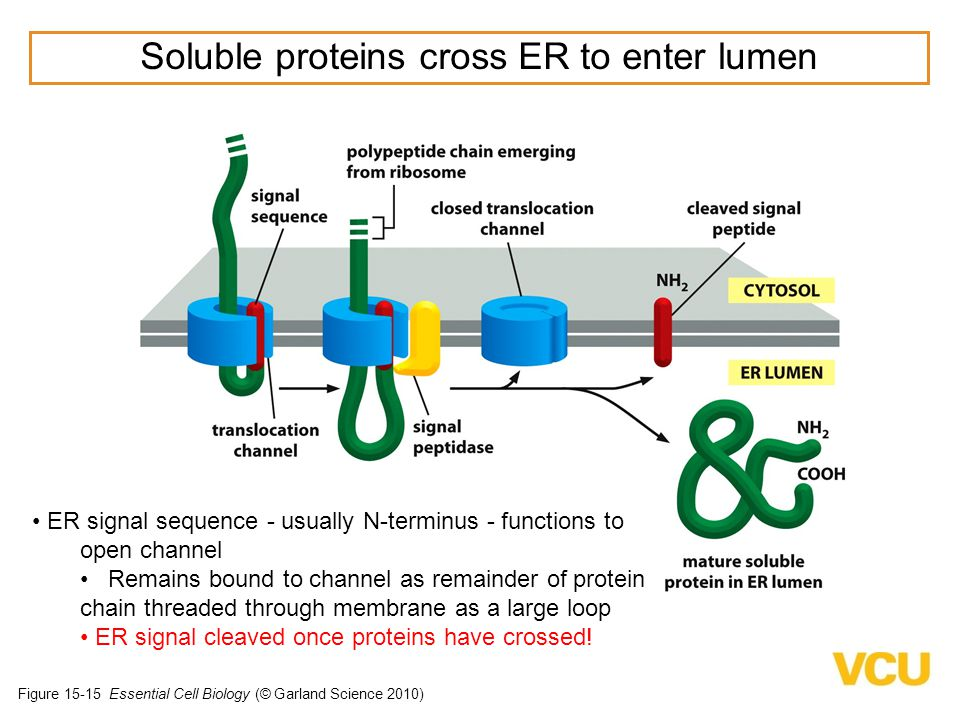 Soluble proteins cross ER to enter lumen