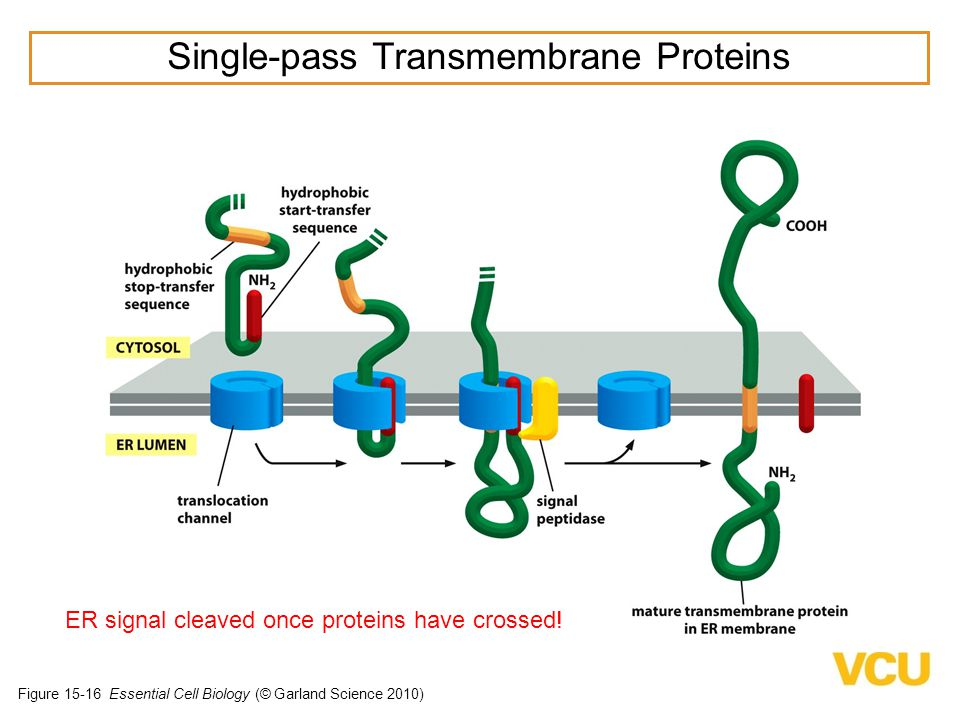 Single-pass Transmembrane Proteins
