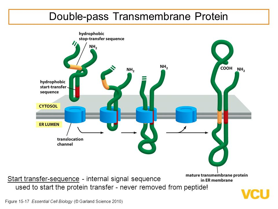 Double-pass Transmembrane Protein