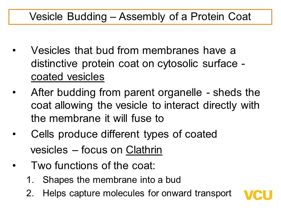 Vesicle Budding – Assembly of a Protein Coat
