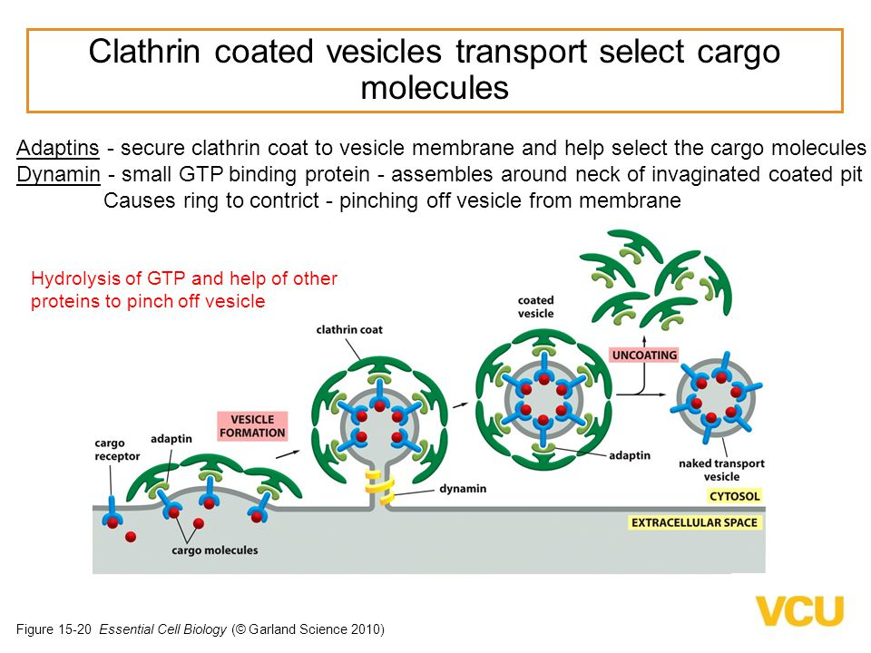 Clathrin coated vesicles transport select cargo molecules