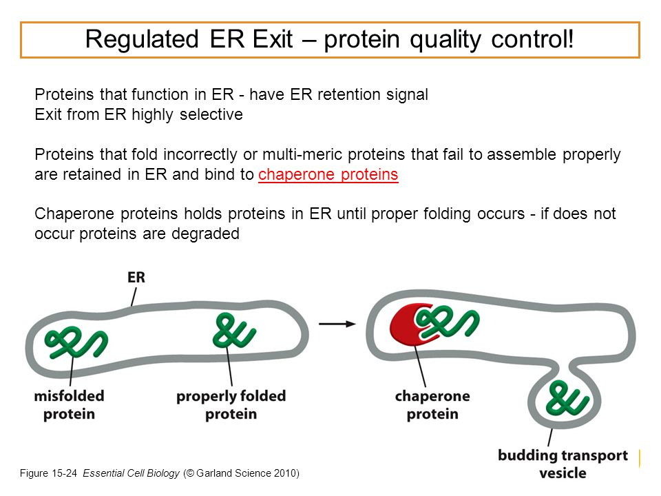 Regulated ER Exit – protein quality control!