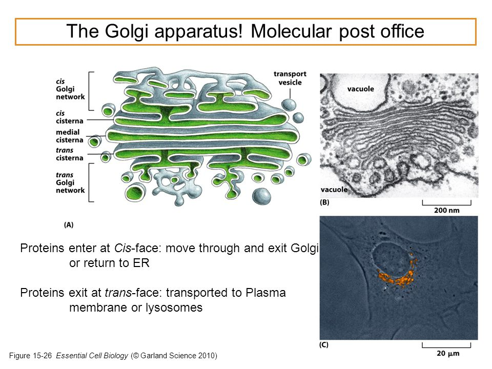 The Golgi apparatus! Molecular post office