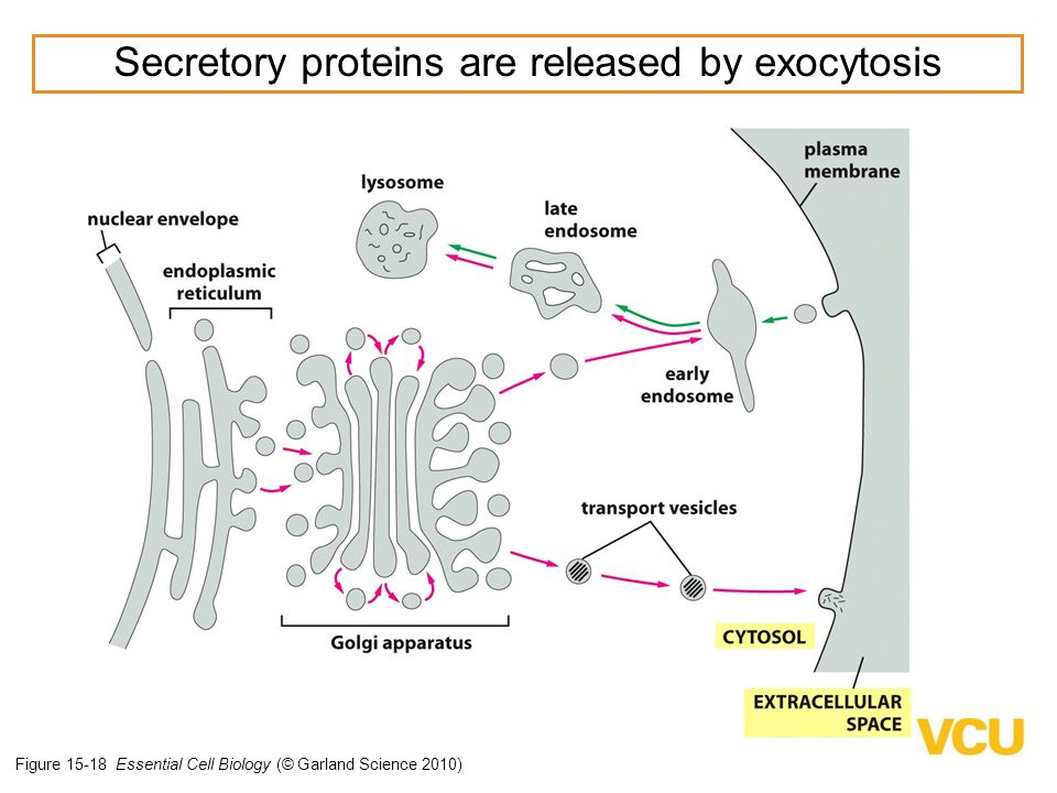 Secretory proteins are released by exocytosis