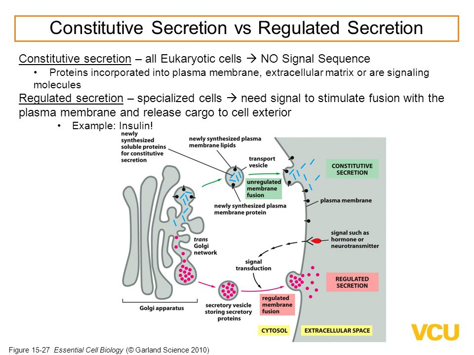 Constitutive Secretion vs Regulated Secretion