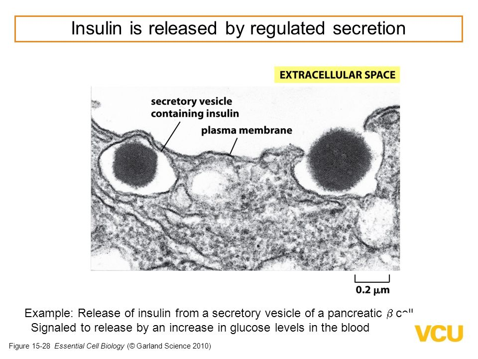Insulin is released by regulated secretion