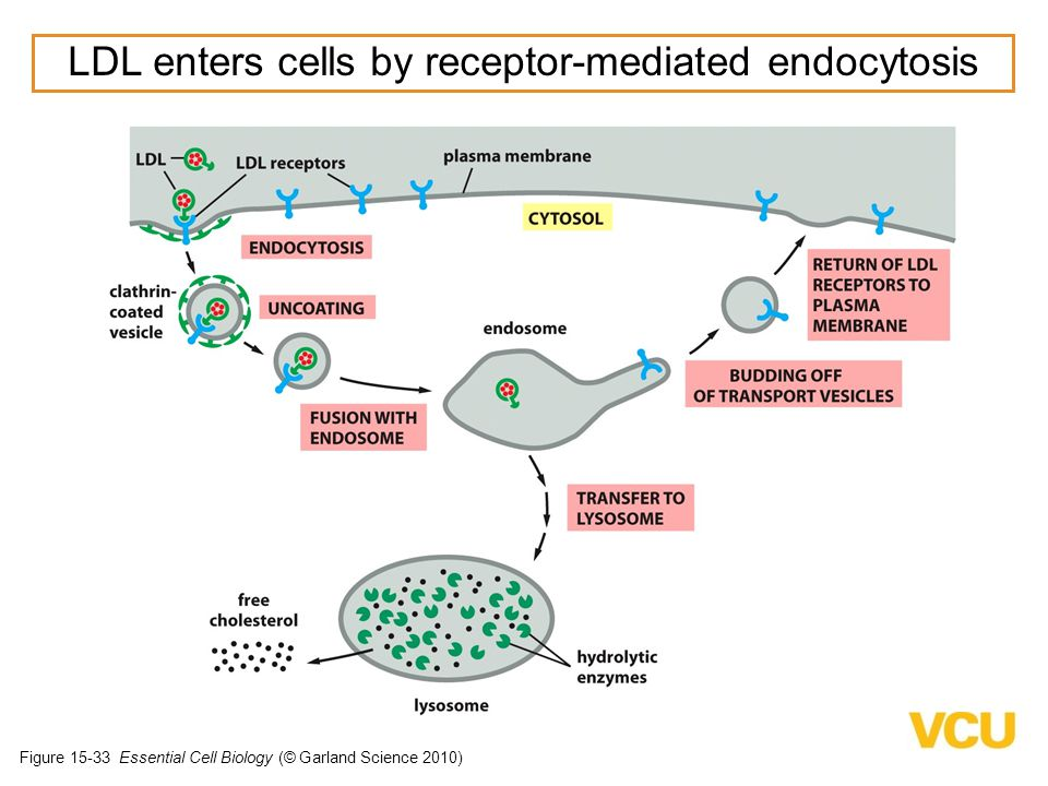 LDL enters cells by receptor-mediated endocytosis