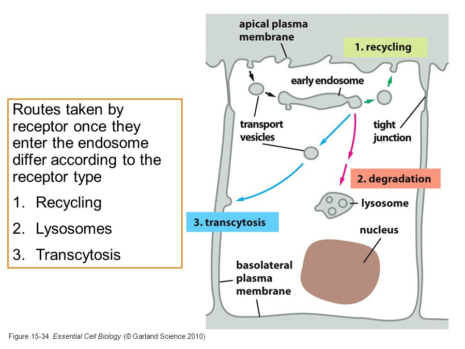 Routes taken by receptor once they enter the endosome differ according to the receptor type