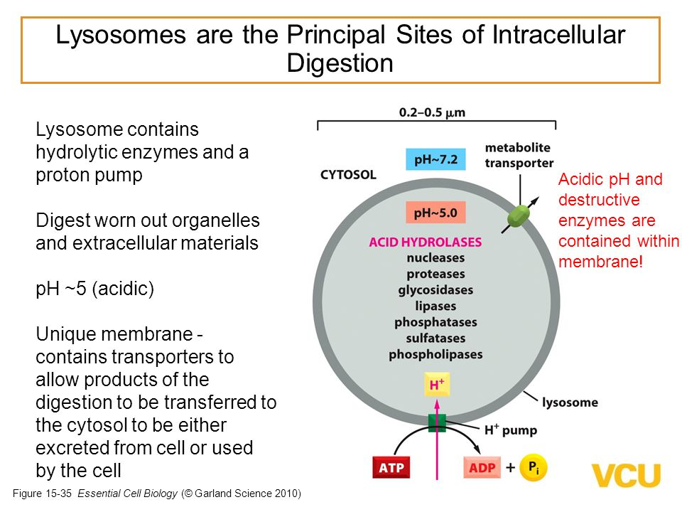 Lysosomes are the Principal Sites of Intracellular Digestion