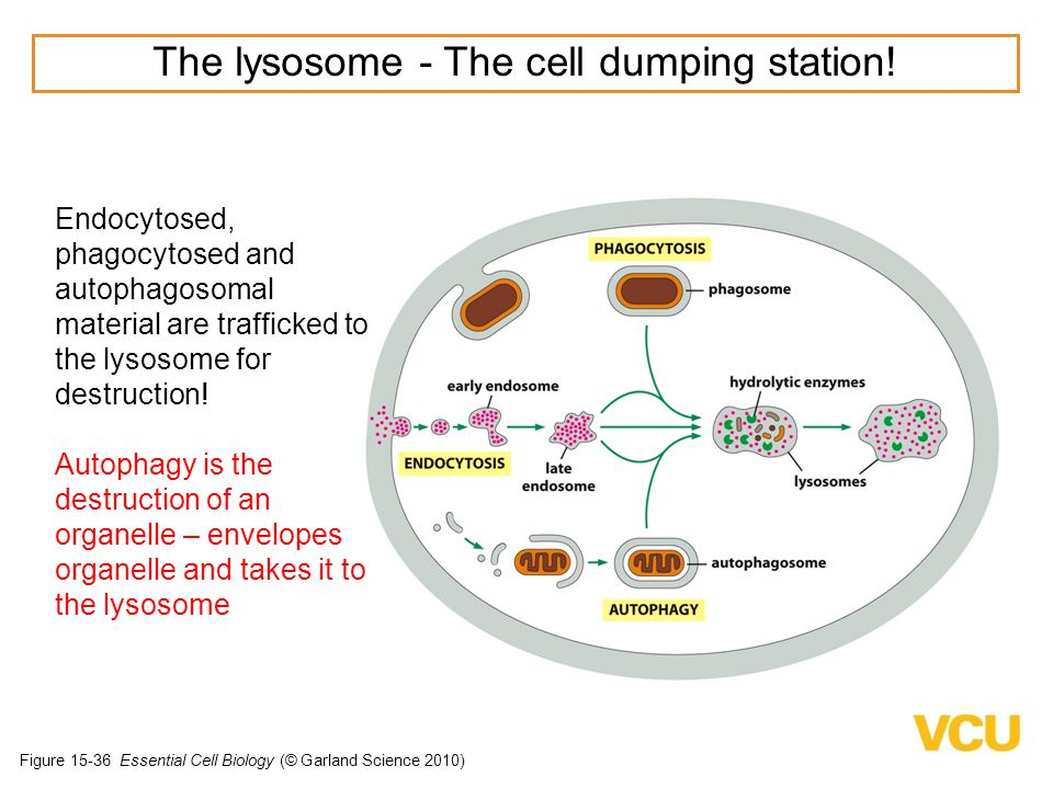 The lysosome - The cell dumping station!